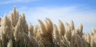 pampaska trava svingerji